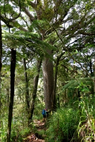 Hugging Kauri tree in Herikino forest